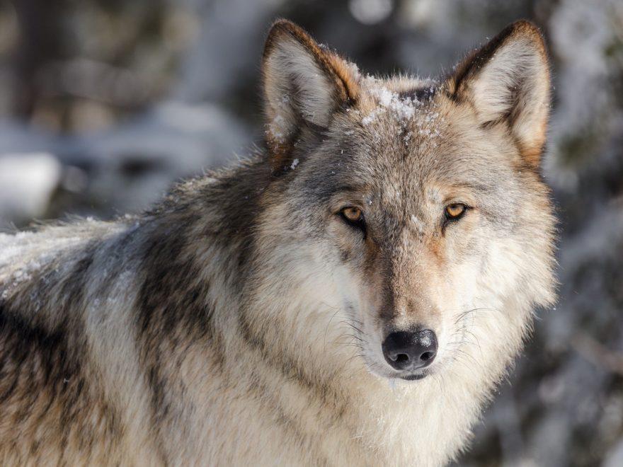 Antragsbefugnis von Tierschutzverbände bei Genehmigung zum Wolfsabschuss